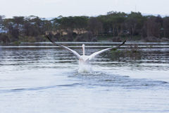 一次巨大白色鹈鹕着陆 免版税图库摄影