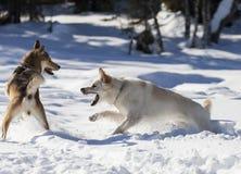 一次德国牧羊犬争斗俄国Laika 免版税库存照片