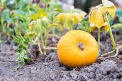 一次成熟橙色南瓜培育品种在藤增长在叶子下在庭院,南瓜属pepo里 库存图片