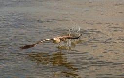 一次海鸥飞行 免版税图库摄影