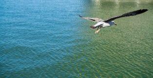 一次海鸥飞行 库存照片