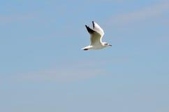 一次白色海鸥飞行 免版税库存照片