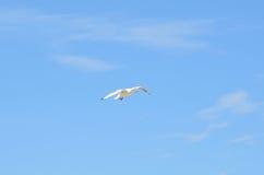 一次白色海鸥飞行 免版税图库摄影