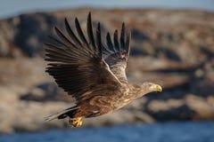 一次白被盯梢的老鹰飞行 免版税库存照片