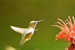 一次红褐色蜂鸟飞行在天空中 r 图库摄影