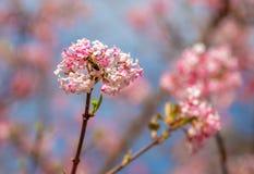 一次蜜蜂飞行的图象对一个冬天雪球的玫瑰色开花的在春天期间的在与迷离的一好日子在背景中 库存照片