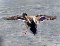 一次野鸭着陆的美丽的照片在冰的 图库摄影