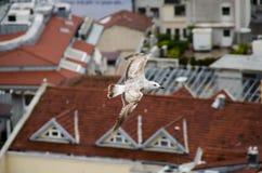 一次鸥飞行在伊斯坦布尔 免版税图库摄影