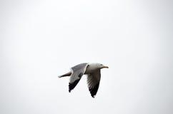 一次鸥飞行在伊斯坦布尔 免版税库存照片