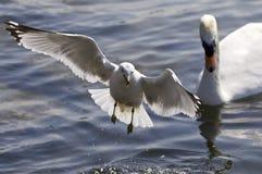 一次鸥飞行的美丽的照片远离天鹅的 图库摄影