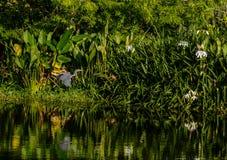 一次Tricolored苍鹭飞行在佛罗里达沼泽地 免版税库存图片