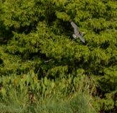 一次Tricolored苍鹭飞行赛普里斯在佛罗里达沼泽地 免版税图库摄影