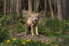 一欧亚狼凝视 免版税库存图片