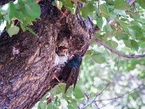 一母椋鸟喂养坐与开放额嘴的它的小鸡 图库摄影