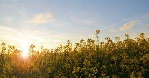 一油菜籽芸苔napus的花反对落日的 免版税库存照片
