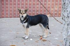 一流浪狗的画象在充分的成长的在秋天季节 免版税库存照片