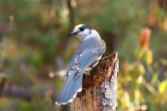 一灰色杰伊Perisoreus canadensis在树桩栖息在阿尔冈金省立公园 图库摄影
