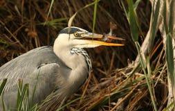 一灰色苍鹭Ardea的顶头射击灰质在吃栖息处的芦苇 免版税库存图片
