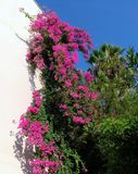 一点九重葛九重葛glabra,九重葛开花,灌木 免版税库存照片