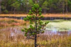 一点云杉 在木头的秋天 库存照片
