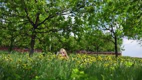 一点使用用蒲公英的逗人喜爱的女孩在一春天好日子 股票视频