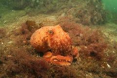 一点卷曲的章鱼 库存照片