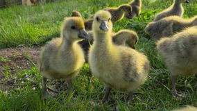 一点吃在传统自由放养的家禽场的幼鹅草 股票录像