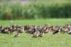 一点吹口哨鸭子在Bundala国家公园,斯里兰卡 库存图片
