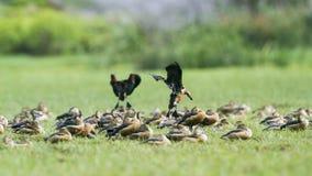 一点吹口哨鸭子在Bundala国家公园,斯里兰卡 库存照片