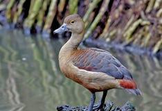 一点吹哨的鸭子Dendrocygna javanica 库存照片