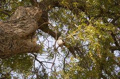 一点困猫头鹰坐一棵巨大的分支的绿色树 免版税库存照片