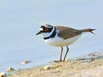 一点圈状的珩科鸟- Charadrius dubius 免版税库存照片