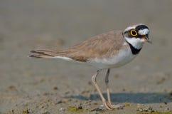 一点圈状的珩科鸟(Charadrius dubius) 库存照片