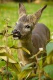 一点在一个草甸的鹿有绿草的 库存图片