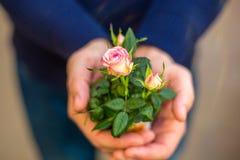 一点在手作为礼物,浪漫关系的概念上上升了 免版税图库摄影