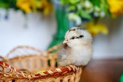 一点在木篮子的黄色鸡,小鸡,新出生鸡 免版税库存照片
