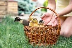 一点在柳条筐的鸭子在绿草 库存照片