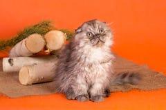 一点在橙色背景的苏格兰折叠小猫 免版税库存照片