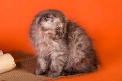 一点在橙色背景的苏格兰折叠小猫 图库摄影