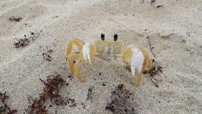 一点在海滩大西洋,古巴沙子的螃蟹  免版税库存图片