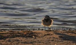 一点在海滩的鸟 库存照片