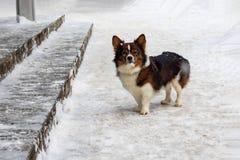 一点在雪的棕色无家可归的狗 免版税库存照片