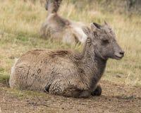 一点大垫铁绵羊 免版税库存照片