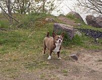 一点奇瓦瓦狗狗在公园 图库摄影