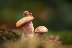 一点好奇蜗牛爬行,坐蘑菇 蜗牛关闭在绿色背景的蚝蘑在 库存照片