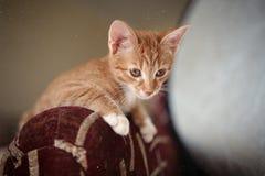 一点姜小猫 免版税库存照片