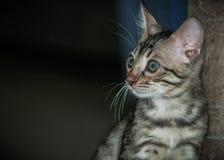 一点孟加拉猫 免版税库存图片