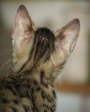 一点孟加拉猫 免版税图库摄影