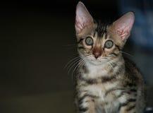 一点孟加拉猫 库存图片