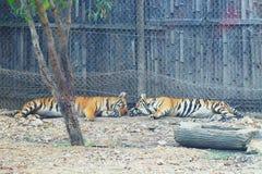 一点孟加拉老虎睡觉 免版税库存图片